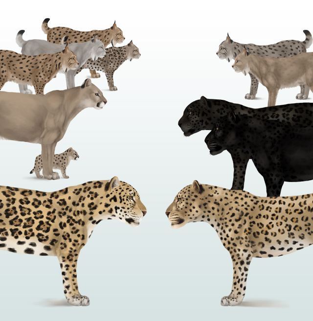 640x656 How To Draw Animals Big Cats, Their Anatomy And Patterns