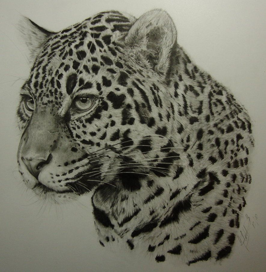 885x903 Jaguar By Dhekalia On Tigerrrr