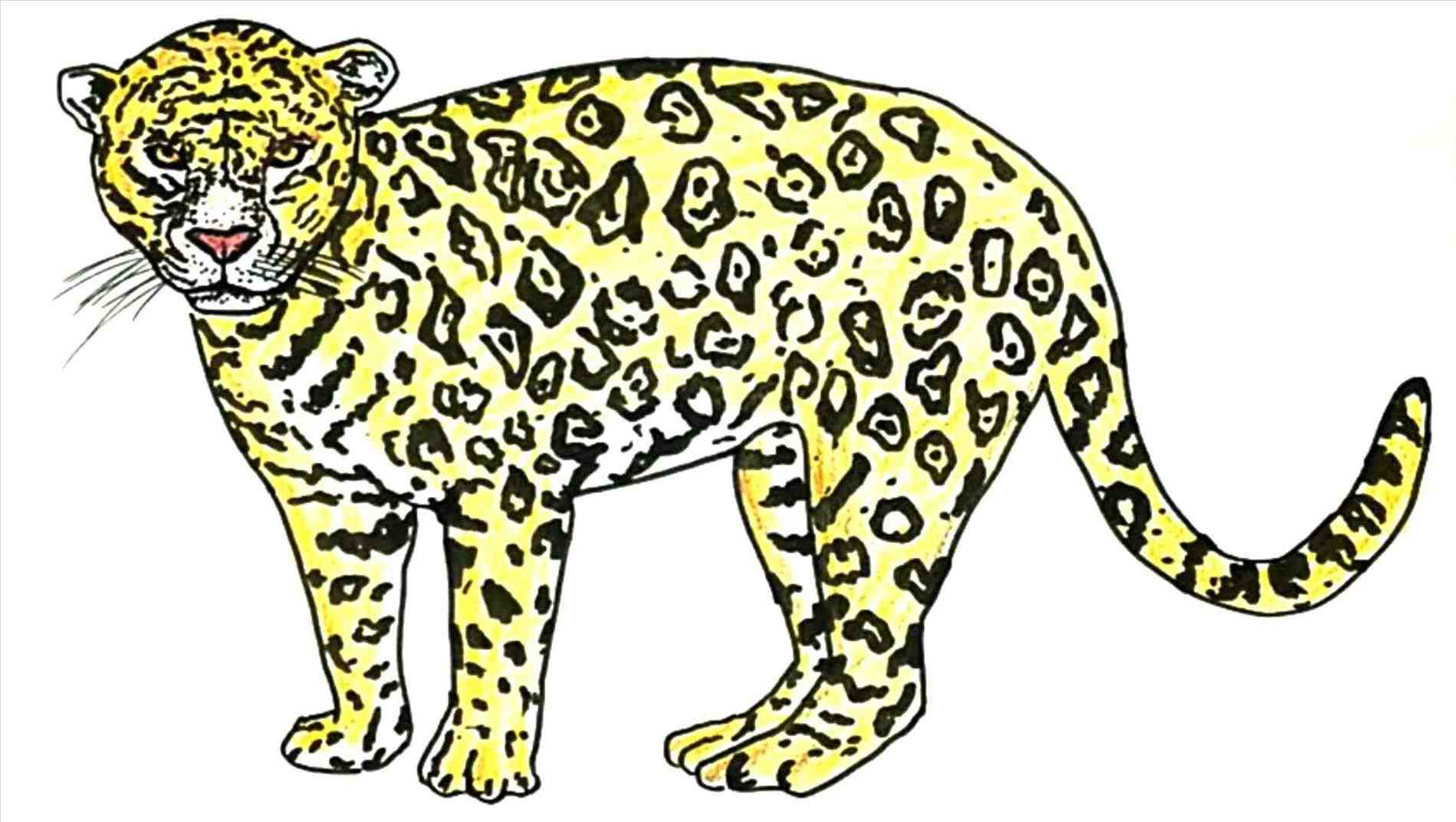 1899x1072 Mexican Jaguar Drawing In 2018