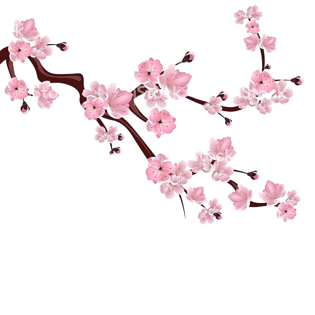 1024x1024 Japanese Cherry Tree S Blossom Pic Flowering Leaves Pencil Drawing