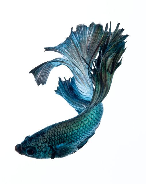 509x639 Most Beautiful Betta Fish In The World [Types Of Betta Fish