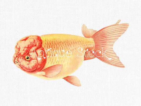 570x428 Goldfish Drawing