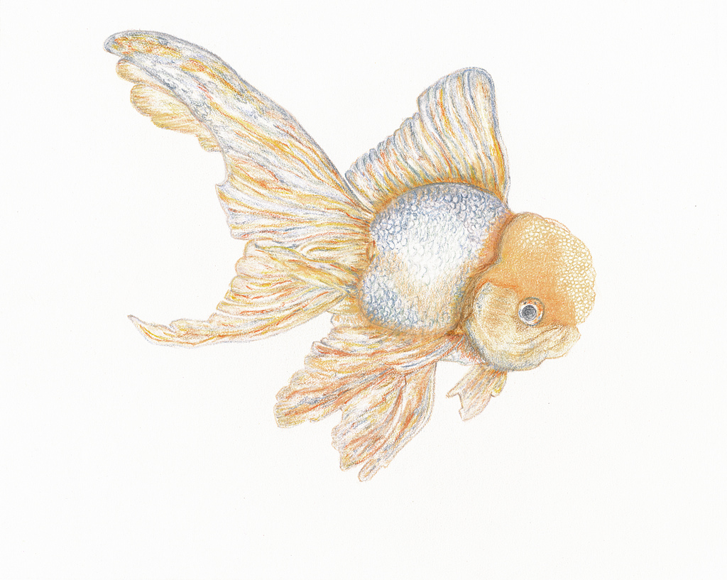 1024x817 The World's Best Photos Of Drawing And Goldfish