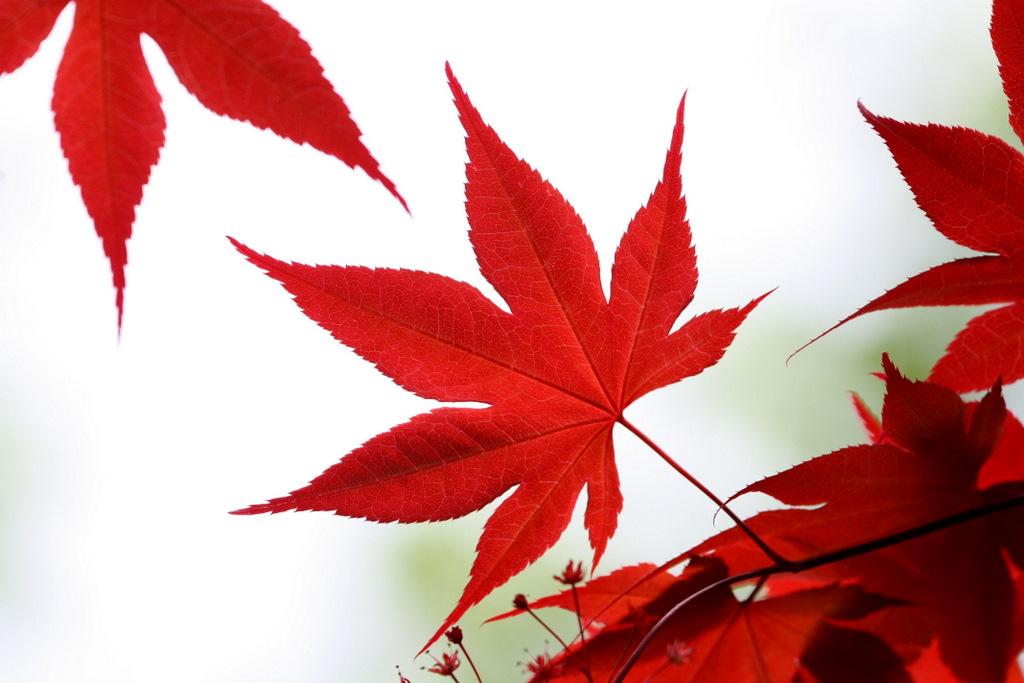 1024x683 Japanese Maple Leaf Japanese Maple Leaves