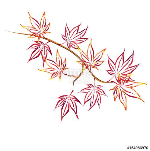 497x500 Autumn Japanese Maple (Acer Palmatum, Fullmoon Maple). Hand Drawn