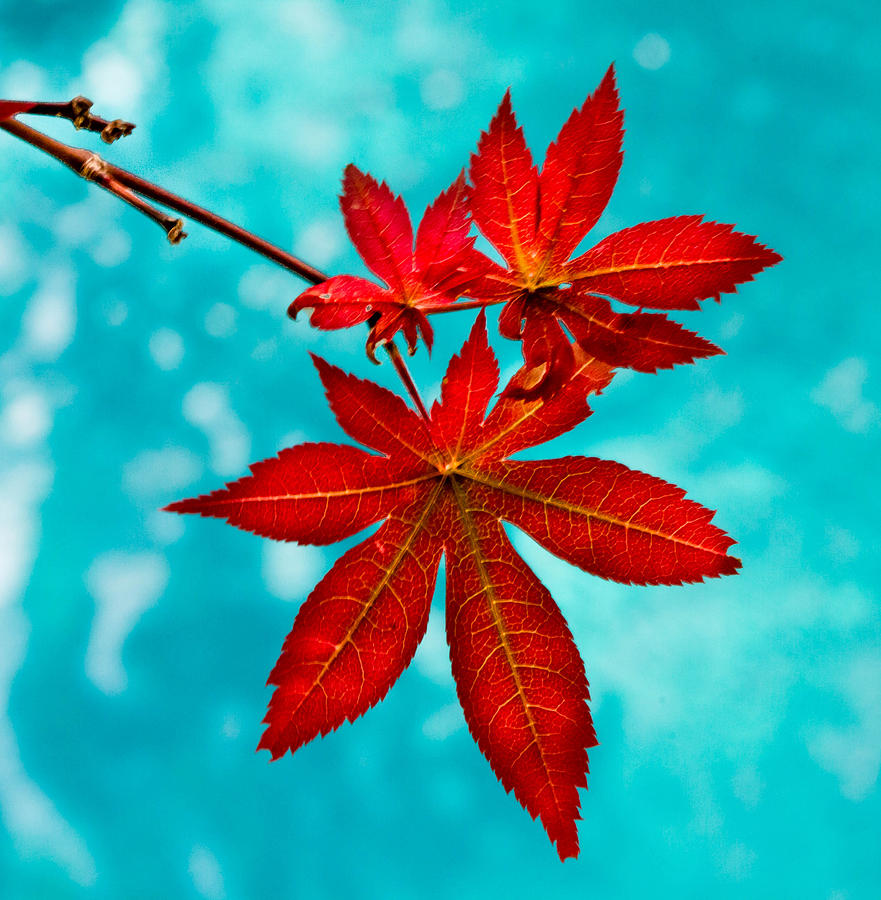 881x900 Japanese Maple Leaves Photograph By Katie Dees
