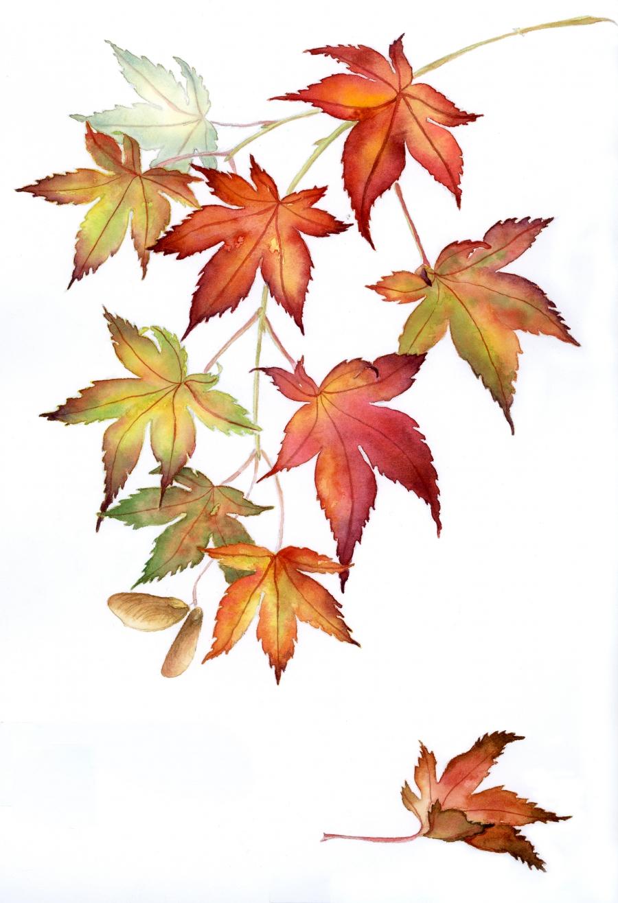 900x1316 Maple Leaf Botanical Leaves, Sketches