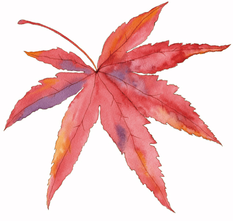 480x456 Momiji Leaf. I Would Love This On My Shoulder Blade Perhaps