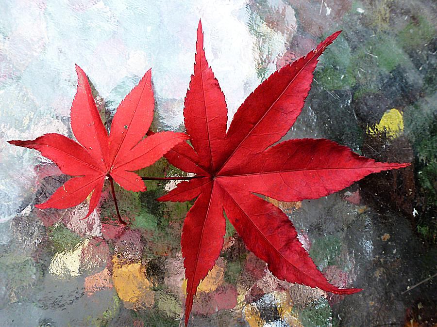900x675 Two Japanese Maple Leaves Photograph By Beth Akerman