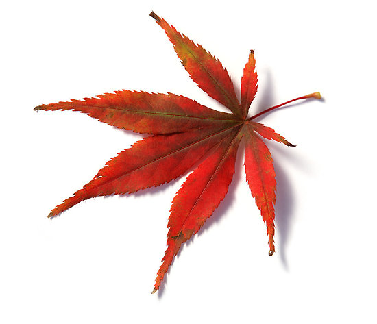 550x473 Japanese Maple Leaf Red Leaf From Japanese Acer Maple Tree By