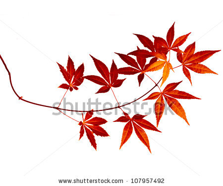 450x374 Stock Photo Japanese Red Autumn Maple Tree Leaves (Acer Palmatum