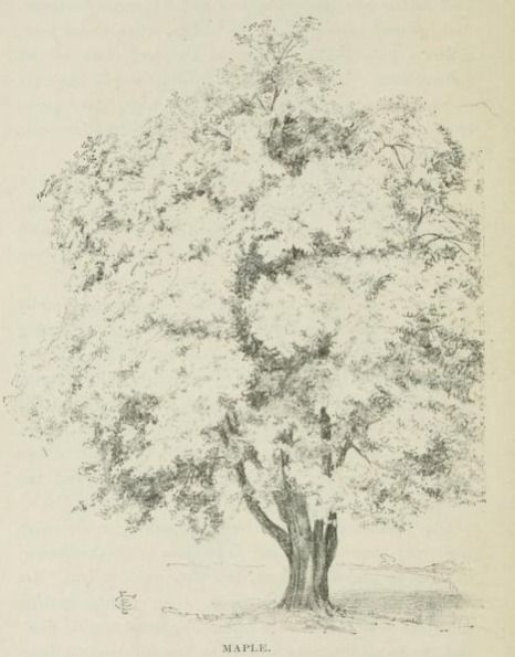 466x595 68 Best Maple Trees Images On Drawing Ideas, Maple