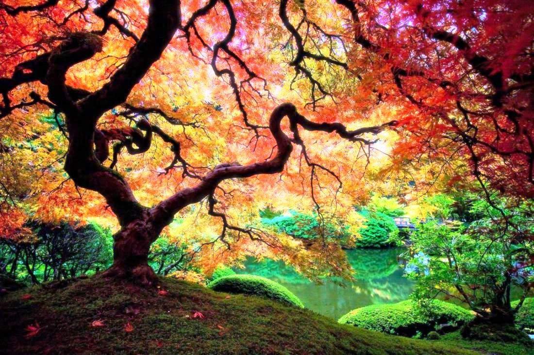 1100x733 A Japanese Maple Tree In Portland, Oregon