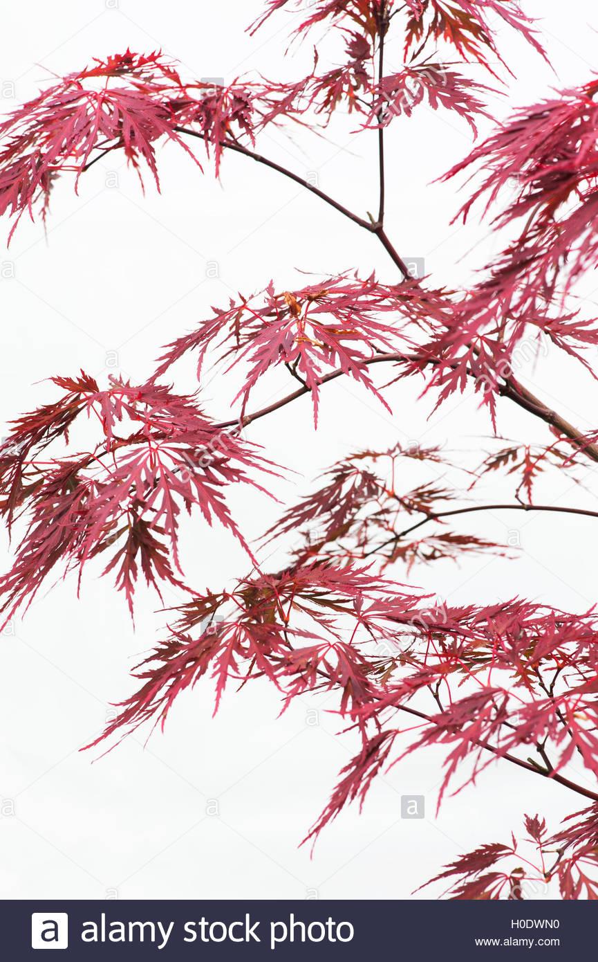 865x1390 Acer Palmatum Dissectum