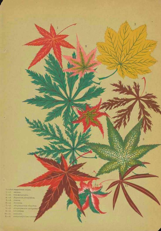 549x784 Interesting Things You May Not Know About Maples Especially