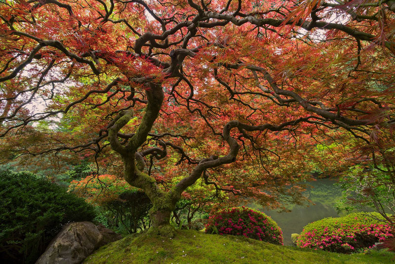 800x534 Picture Of The Day Portland's Famous Japanese Maple