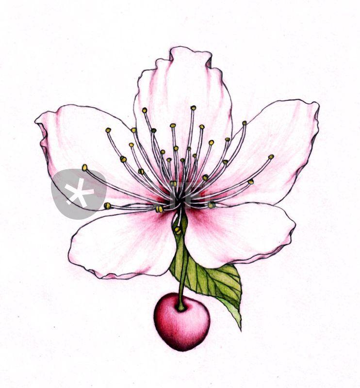 742x800 Cherry Blossom Drawing