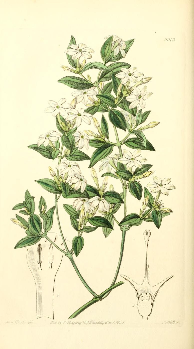 Jasmine flower botanical drawing at getdrawings free for 778x1399 edwards39 botanical register privet leaved jasmine vintage izmirmasajfo