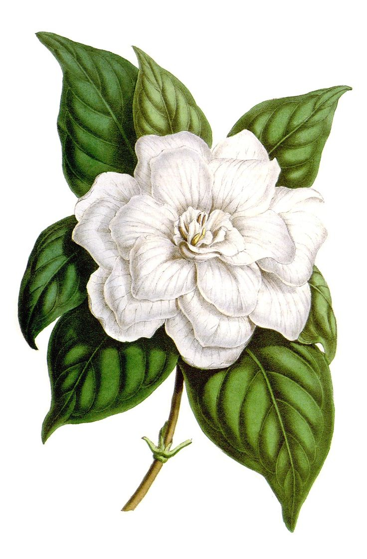 Jasmine flower botanical drawing at getdrawings free for 736x1120 gardenia flower drawing 39 best jasmine images on pinterest izmirmasajfo