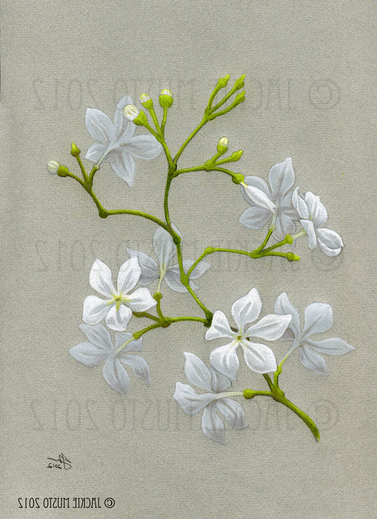 Jasmine Flower Drawing At Getdrawings Free For Personal Use