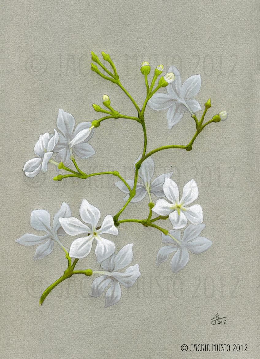 848x1168 Jasmine Flower Drawing