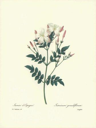 336x448 Redoute Botanical Royal Spanish Jasmine Flower Art