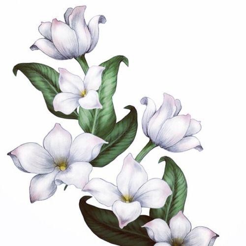 500x500 Jasmine Flower Drawings Gallery Templatesstencils