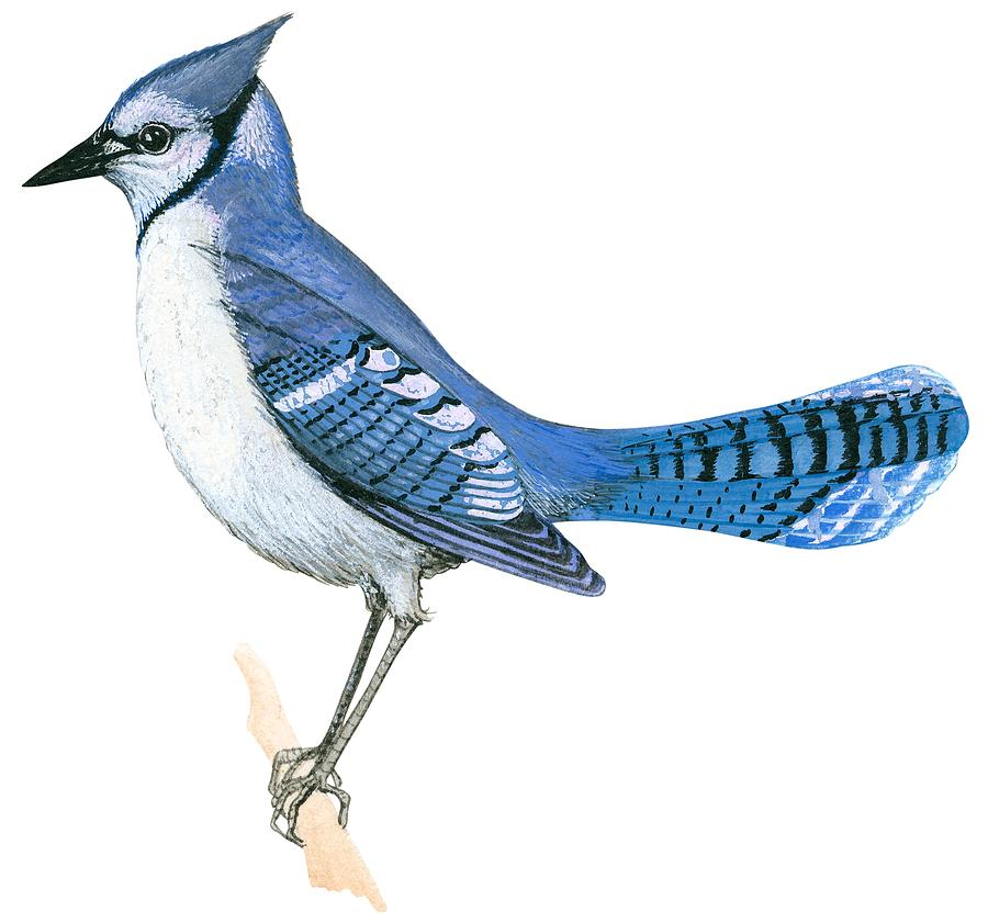 900x841 Blue Jay Drawing By Anonymous