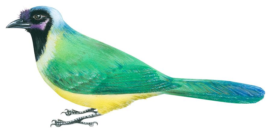 900x438 Green Jay Drawing By Anonymous