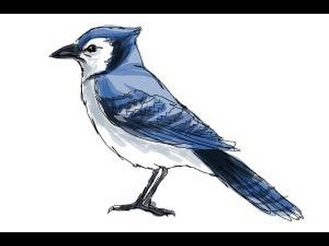 480x360 How To Draw A Blue Jay