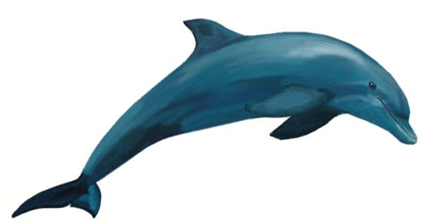 620x316 How To Draw A Dolphin
