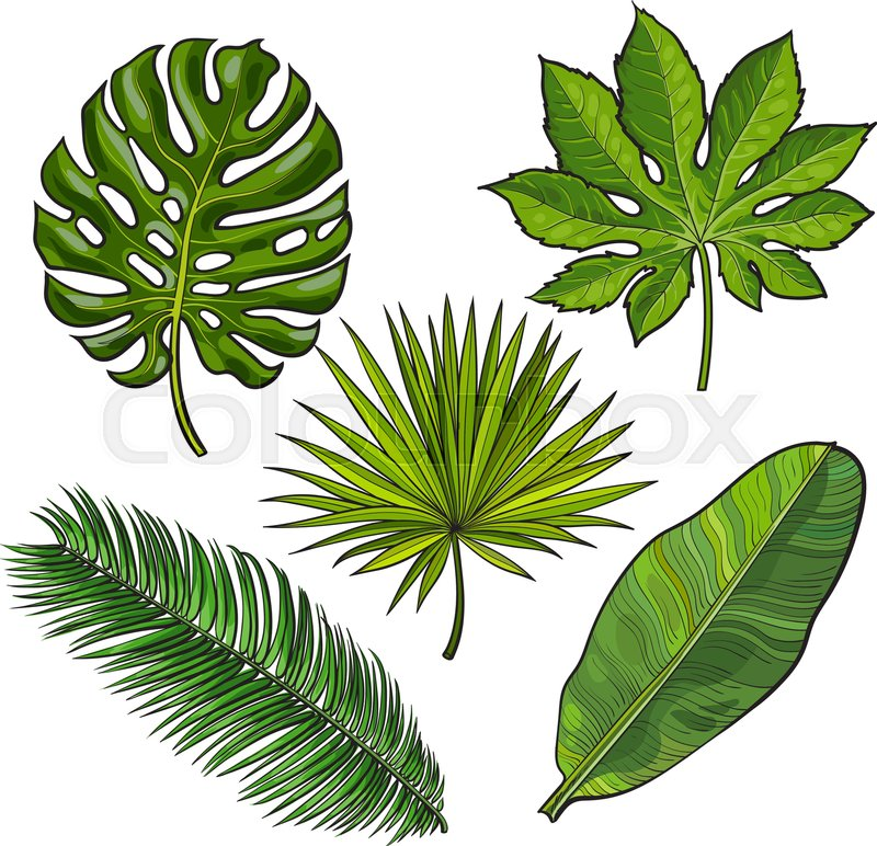 800x772 Set Of Tropical Palm Leaves, Sketch Style Vector Illustration