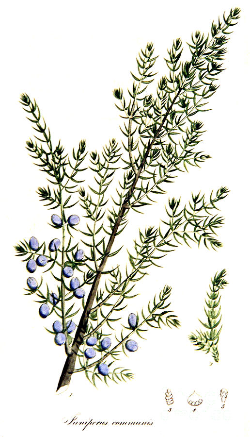516x900 Common Juniper Alchemy Plant Photograph By Science Source