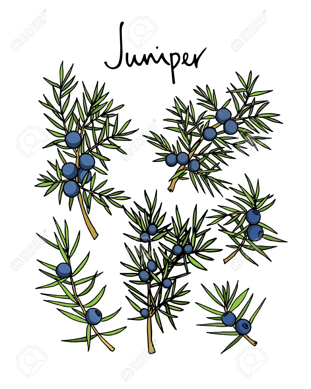 1040x1300 Vector Card With Hand Drawn Juniper Twigs. Beautiful Floral Design