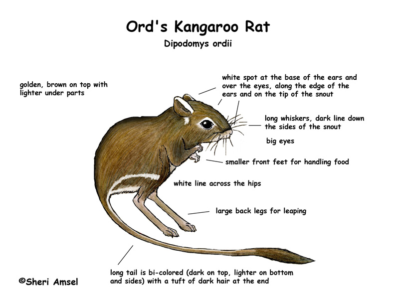 Kangaroo Rat Drawing At Getdrawings Free For Personal Use