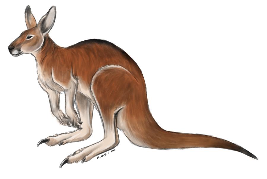 900x603 Red Kangaroo By Lobocuervo