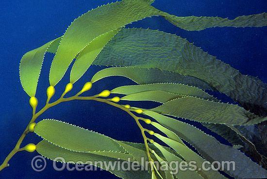 550x370 Giant Kelp Gas Filled Floats Kelp Forest Botanical
