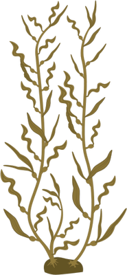 185x400 Macrocystis Pyrifera (Giant Kelp) 2