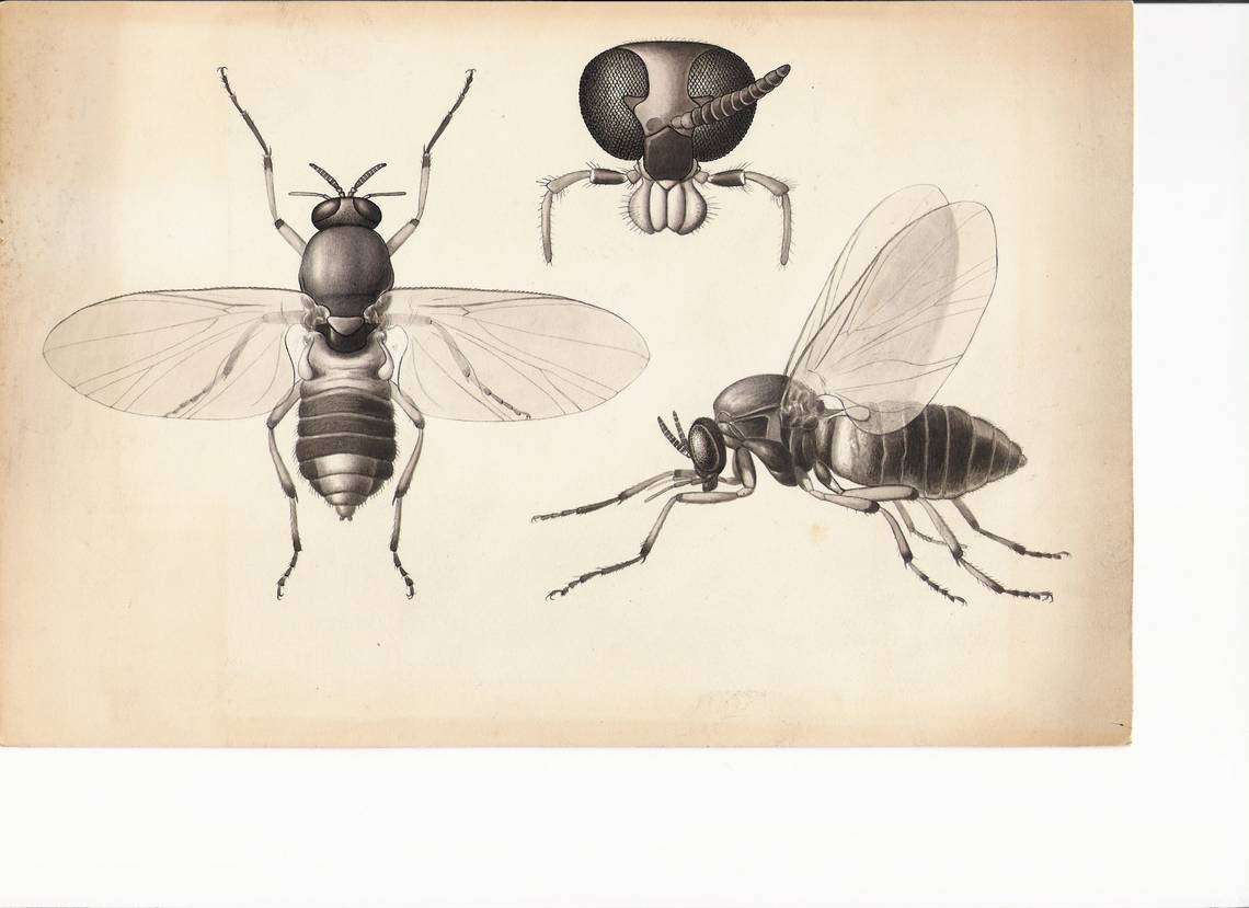 1140x829 Century Old Insect Drawings Reveal The Art Of Scientific