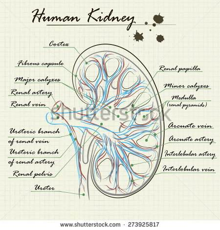 Kidney drawing at getdrawings free for personal use kidney 450x470 human kidney drawing diagrams for all ccuart Choice Image