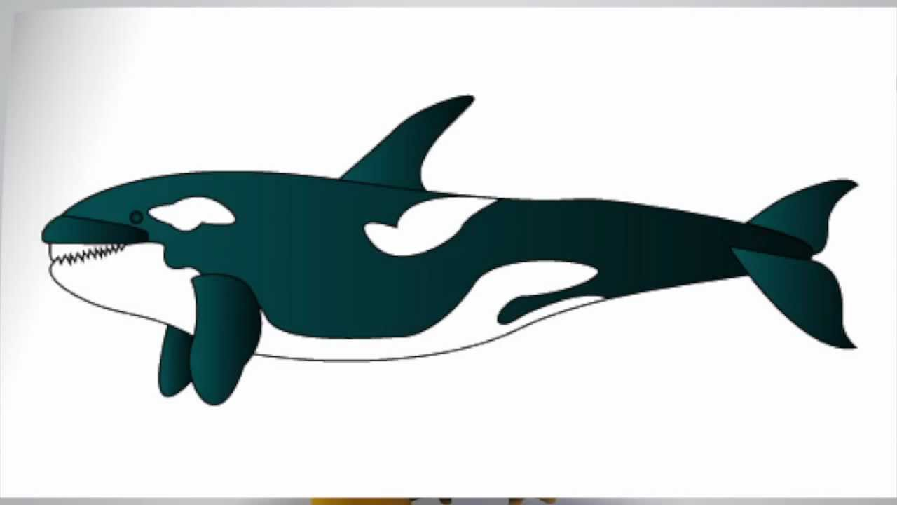 Killer Whale Drawing at GetDrawings.com | Free for personal use ...