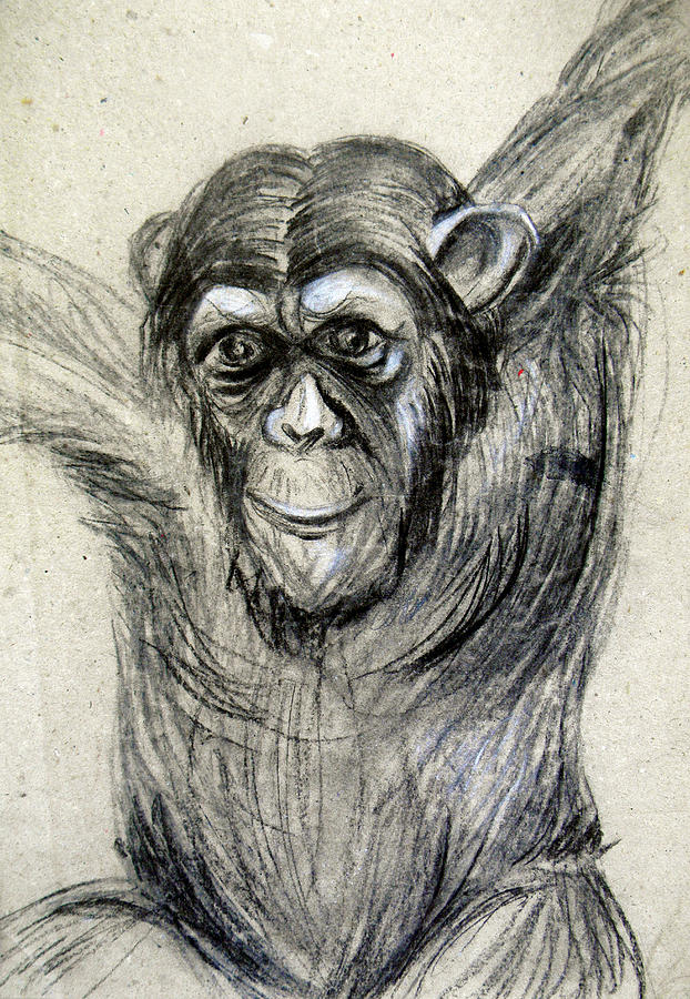622x900 One Of A Kind Original Chimpanzee Monkey Drawing Study Made