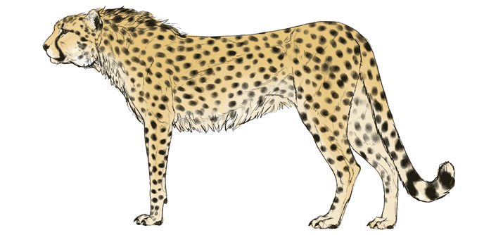688x334 How To Draw Big Cats Lions, Tigers, Cheetahs, And Much More
