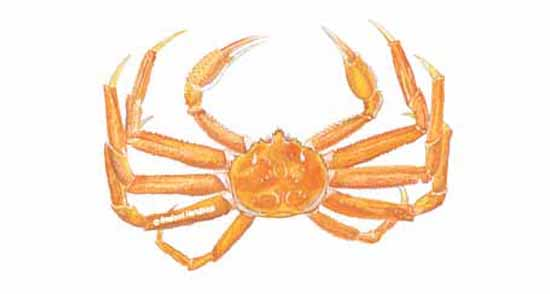 550x294 Crab, Snow