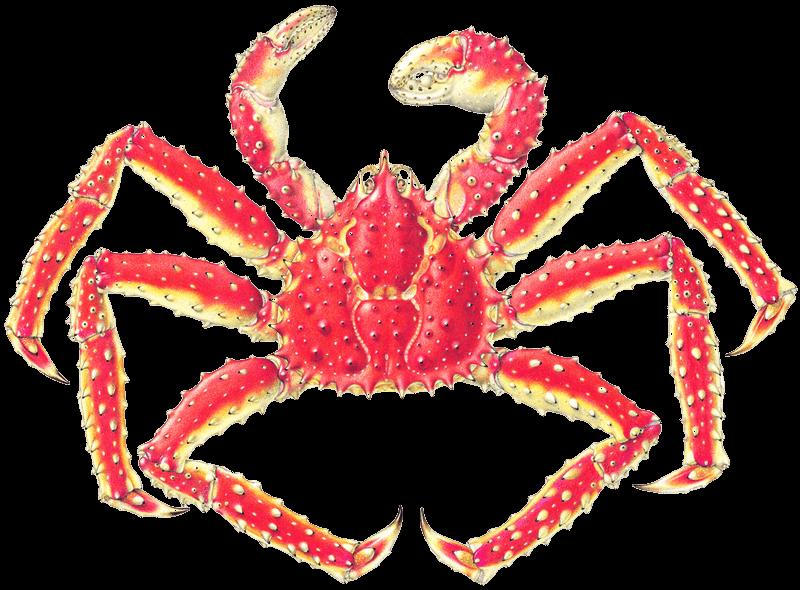 800x590 Rock Crab Drawing