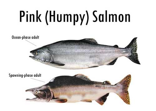500x357 Alaska's Five Species Of Pacific Salmon, Alaska Department Of Fish