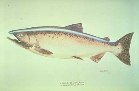 450x296 Alaska Wildlife, King Salmon Drawing