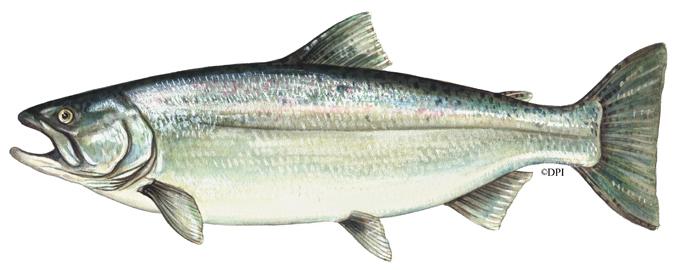 675x270 Chinook Salmon