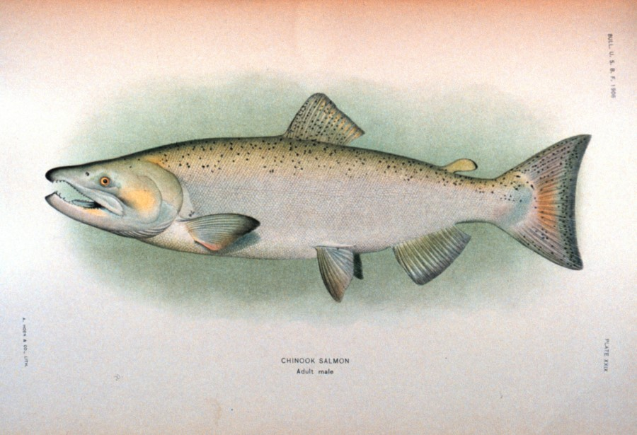 900x615 King Or Chinoonk Salmon Drawing