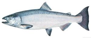 300x126 Limited Edition Print King Salmon (Alaska), Artwork Store Name